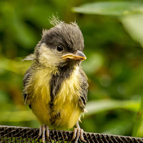 fledgling by Tony Walker - Animals Birds ( bird, great tit, feathers, garden, fledgling )