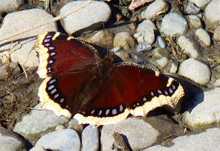 Photo: Mourning Cloak Butterfly