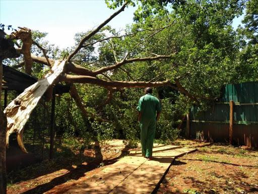 Why Wangari Maathai tree was cut down