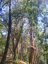 Photo: Falling bark and limbs make the native trees more fire prone. Here a young eucalyptus has fallen.