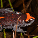 Red-Crowned Brood Frog