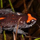 Red-Crowned Brood Frog