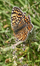 Photo: Knapweed Fritillary (Melitaea phoebe)