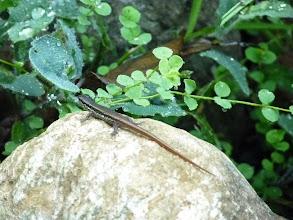 Photo: 印度蜥蝪
