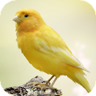 Canary Bird Sounds icon