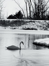 Photo: Black and white photo of a swan on the winter lake at Carriage Hill Metropark in Dayton, Ohio.