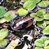Surucucu-do-brejo, False water snake
