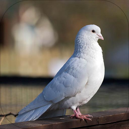 鸽子的声音 音樂 App LOGO-硬是要APP