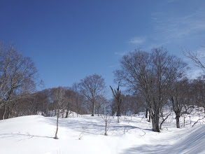 広い稜線に巨大ブナ林