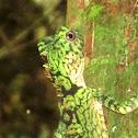 Borneo anglehead lizard