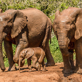 Elephant family   by Ronel Nel - Animals Other Mammals ( elephant  family )