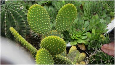 Photo: Cactuși (Cactaceae) - din Turda, de pe Str. George Cosbuc - 2018.07.19