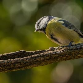 bluetit by Barry Smith - Animals Birds ( nature, ornithology, animals, birds, wild )