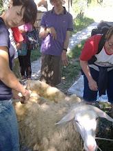 Photo: Sara tosa la pecora