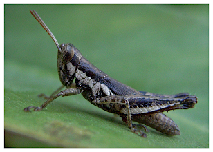 Photo: Small Grasshopper  Our front yard in Omkoi is more like a zoo at times. So many different creatures pay us visits. Some are fantastic and others make me nervous (poisonous snakes, incredibly large spiders etc). Anyway this little one was fantastic. I am very pleased it allowed me to get so near with my camera on macro to take the shot.