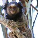 Black-tufted marmoset