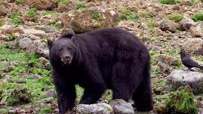 Canada: Spirit Bear thumbnail