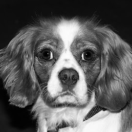 Mono Milo by Chrissie Barrow - Black & White Animals ( mono, monochrome, animal, black and white, dog )