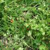 Ladybird - Coccinella