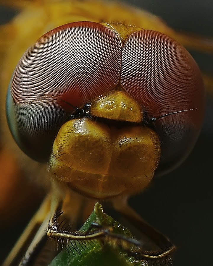 Dragonfly by Jumali Saja - Animals Insects & Spiders