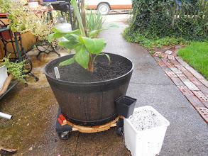 "Photo: 4"" crib pot, 7"" child pot, And adult pot where he can raise his pups."