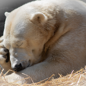 Pondering Polar by Maureen McDonald - Animals Other Mammals ( polar, spring, april 2018, 2018, polar bear, cincinnati zoo, cincinnati, happy bear, pondering polar, bear, zoo, april,  )