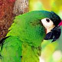 Maracanã-verdadeira (Blue-winged Macaw)
