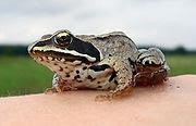 Photo: żaba