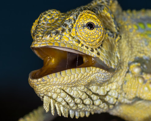 Angry chameleon by Joggie van Staden - Animals Reptiles ( macro, nature, nature up close, agression, reptile, chameleon, close-up, animal )