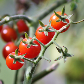 Tomatoes on the Vine by Leah Zisserson - Food & Drink Fruits & Vegetables ( red, tomatoes, green, fruit, garden, vegetable,  )