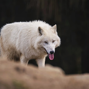 arctic wolf by Ondřej Chvátal - Animals Other Mammals ( fur, wolf, tongue, arctic, muzzle, portrait, look, spring, white, mammal, carnivore, animal, animals, zoo, detail, wild, wildlife,  )