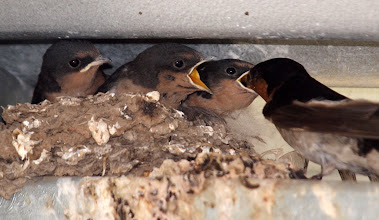 Photo: Welcome Swallow Chicks in nest