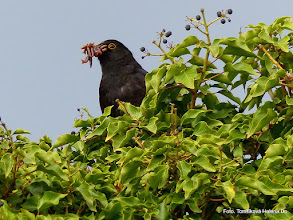 Photo: Kos černý (Turdus merula)