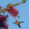 Rufus hummingbird (Male)