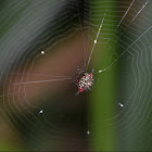 Australian Jewel Spider (female)