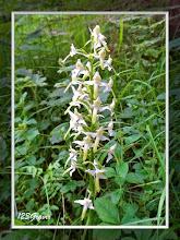 Photo: Platanthère verdâtre, Platanthera chlorantha