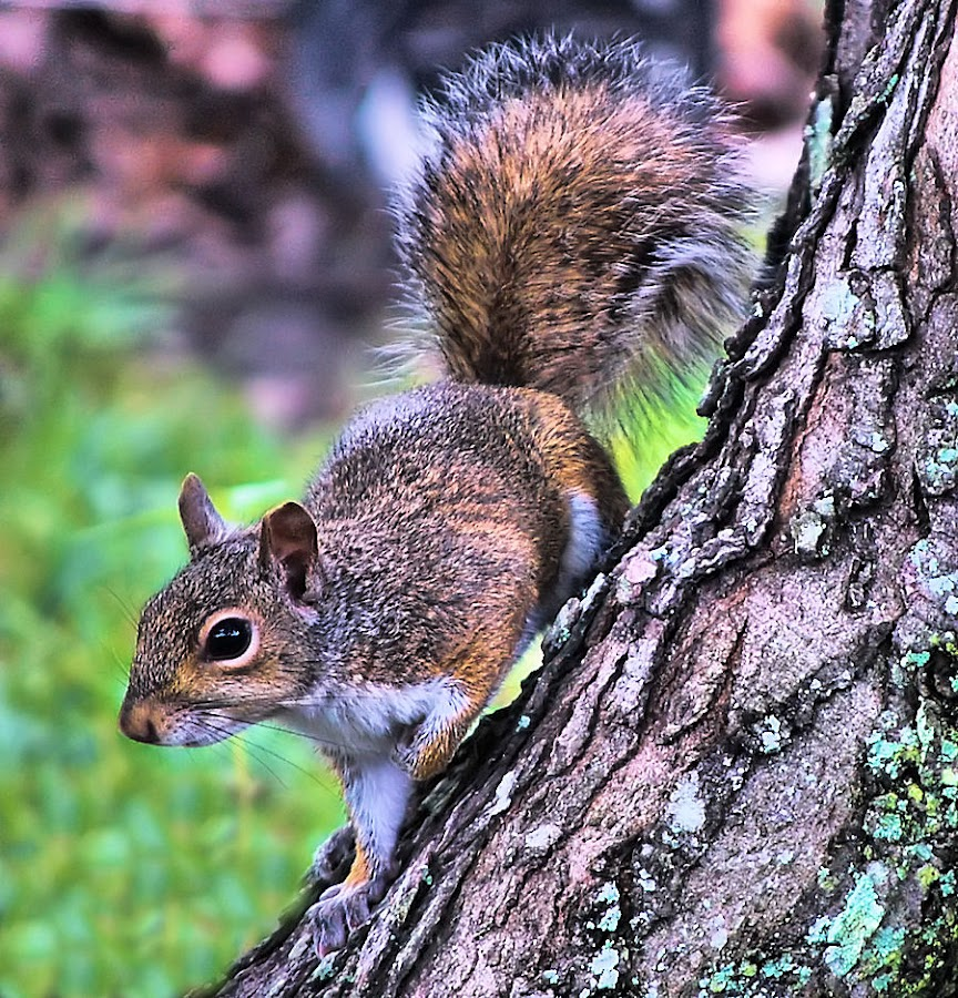 Squirrel In A Tree by Terry Davey - Animals Other Mammals ( squirrel )