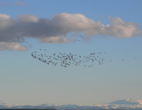 Photo: Flock of Snow Geese, Steens Mtn backdrop