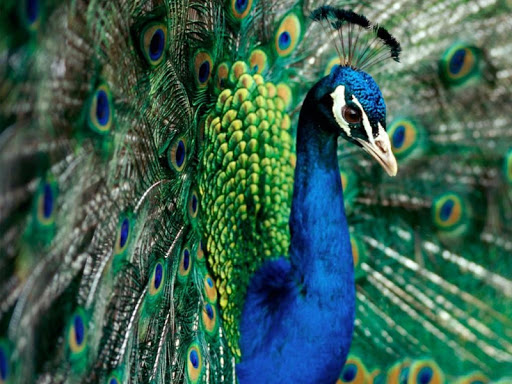 Peacock Pack 2 Live Wallpaper