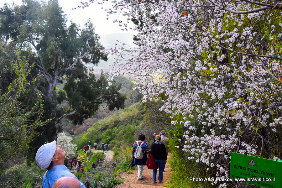 Цветущий миндаль. На экскурсии в заповеднике на севере Израиля.