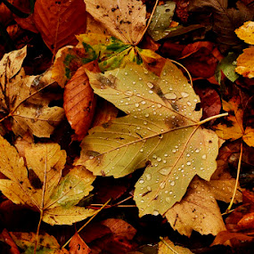 Autumn Dew by Jadranka Bužimkić - Nature Up Close Leaves & Grasses ( fall leaves on ground, fall leaves )