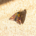 Small Purple and Gold Moth
