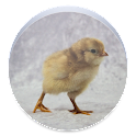 Baby Chick Wallpaper