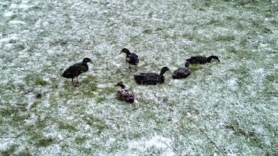 Photo: Den Enten westlich vom Café Halle scheint der Schnee nichts auszumachen.