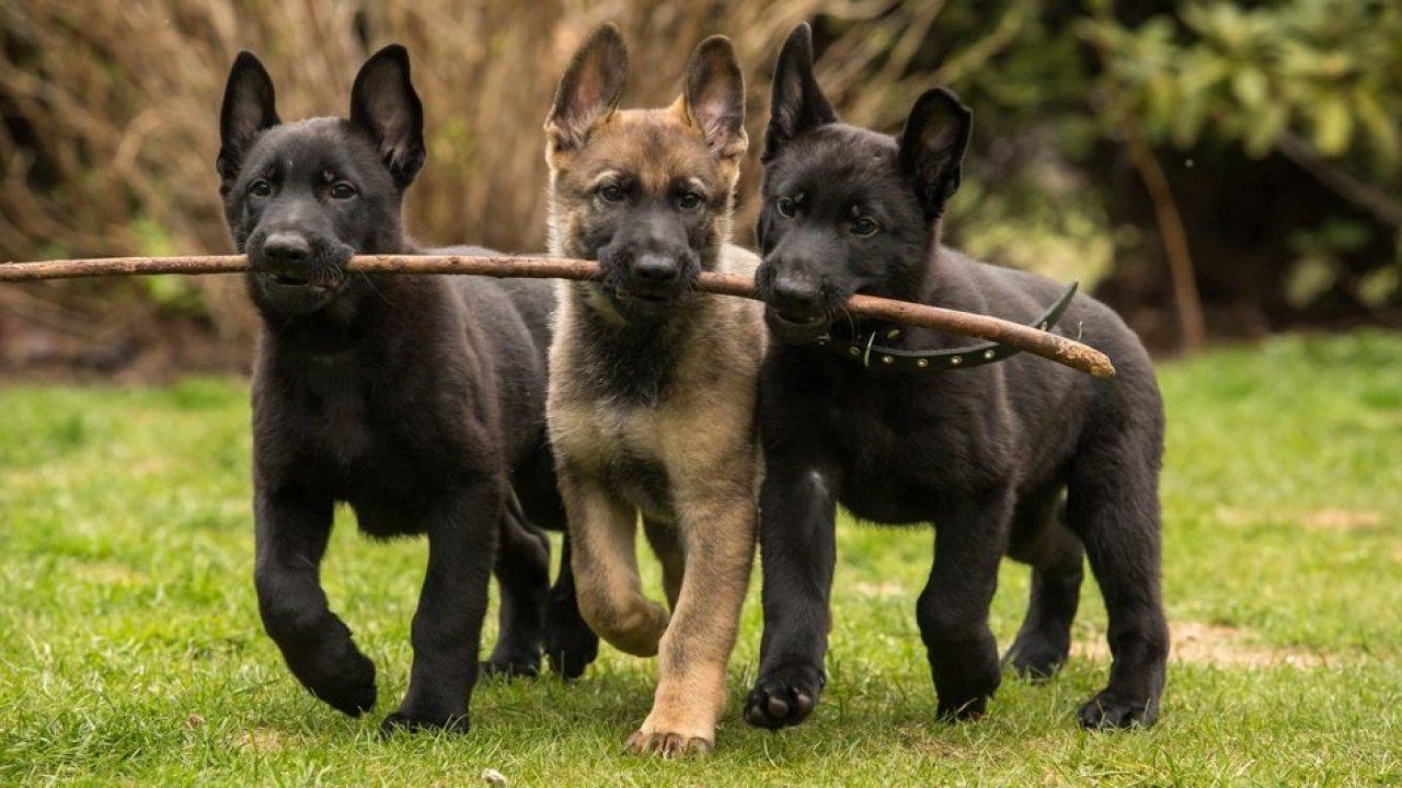 Socializing Your German Shepherd Puppy – The First 16 Weeks ...