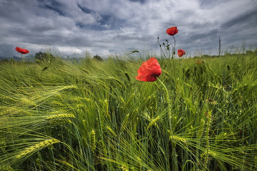 Red-Blue-Green by Jaro Miščevič - Landscapes Prairies, Meadows & Fields ( field, clouds, red, sky, nature, blue, green )