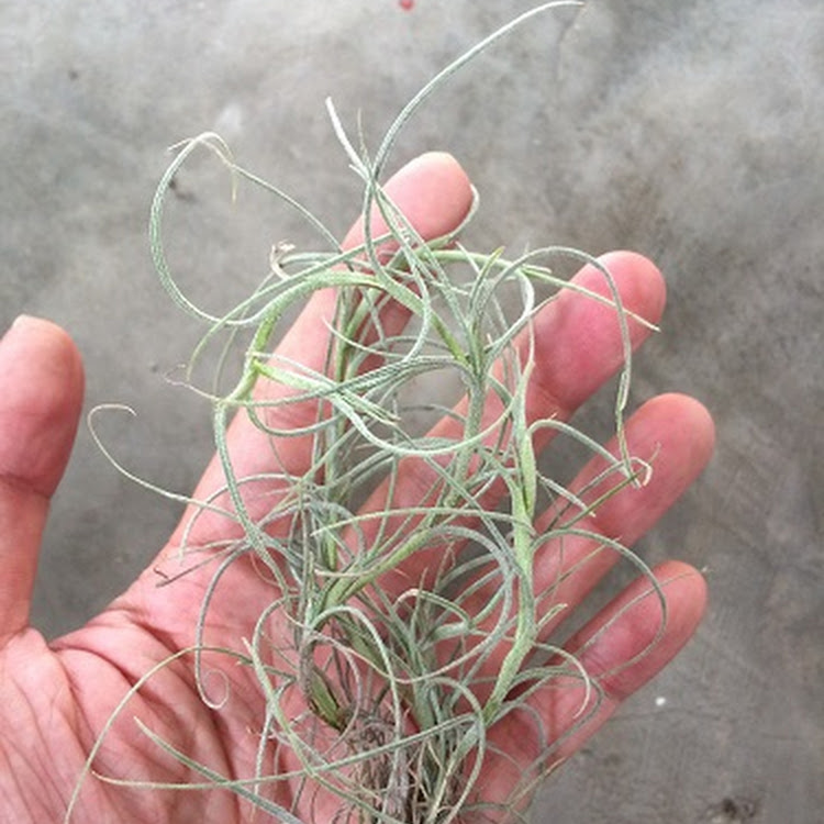Air Plant - Kimberly