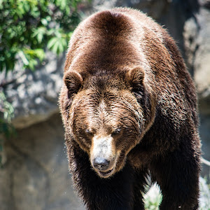 Grizzly roaming out.jpg
