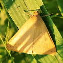 Yellow mocis moth