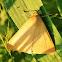 Yellow mocis moth